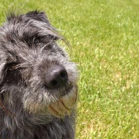 Irish Wolfhound?