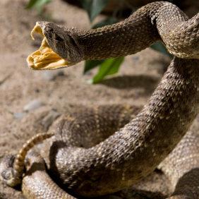 Rattlesnake Avoidance